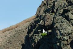 Herring gulls Larus argentatus  - bird on a rock. Iceland. Selective focus.  stock image
