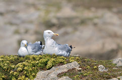 Herring gulls lying on grass Stock Image