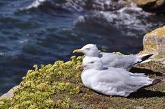 Herring gulls lying on grass