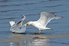 Herring Gulls Stock Photos