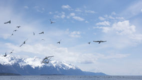 Herring gulls in Southeast Alaska Royalty Free Stock Photography