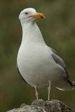 Herring gulls. Stock Image