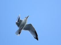 Herring Gull in flight. A nearly mature herring gull, scientific name Larus argentatus, flies overhead in the sky royalty free stock photo