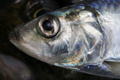 Herring Head Royalty Free Stock Photo