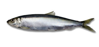 Herring - Isolated Royalty Free Stock Image