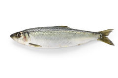 Herring Stock Photography