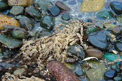 Herring Roe clinging to sea grass, washed up on the rocky shore. Scene near Qualicum Bay, BC during the annual herring run, when competition is fierce between stock photo