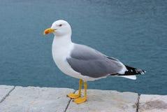 Herring seagull Royalty Free Stock Photo