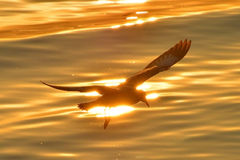 A HERRING SEAGULL FLYING Royalty Free Stock Photography