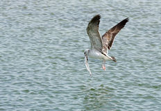 Herring seagull picked up a big fish from the water Stock Photography