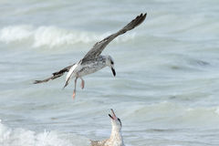 Herring seagull Stock Photos