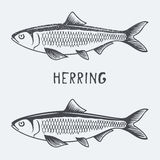 Herring vector illustration Stock Photo