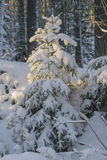 Herringbones in the snow. Beautiful winter forest, Russia Saint Petersburg Royalty Free Stock Photography