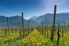 Herrliche Aussicht von Weinbergen im Frühjahr mit gelben Blumen und endlosen Reihen von Reben stockfoto