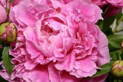 Herrliche blühende peonia Blume Stockfotos