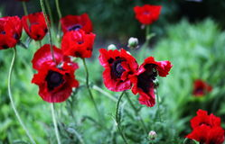 Herrliche Blumen der Mohnblume Stockfotografie