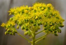 Herrliche Blumen von Aeonium Stockbild