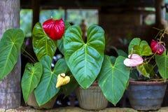 Herrliche Flamingoblumen mit leuchtenden roten Blüten und leuchtenden grünen Blättern stockfotos