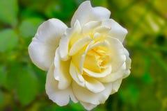 Herrliche gelbe Rose Lizenzfreie Stockfotos