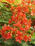 Herrliche Gulmohar Blumen lizenzfreies stockfoto