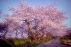 Herrliche Kirschblüte #2 stockfoto