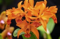 Herrliche orange Orchidee Lizenzfreies Stockfoto