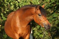 Herrliche Ponystute mit nettem Show Halter Lizenzfreie Stockfotografie