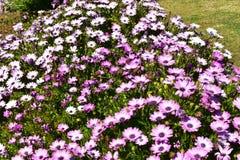 Herrliche purpurrote afrikanische Gänseblümchen in einem schönen Garten stockbilder