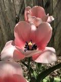 Herrliche rosa Tulpen im Spätfrühling Lizenzfreie Stockfotografie