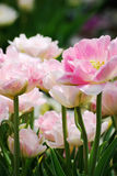 Herrliche rosa und weiße Pfingstrosen im Frühjahr bei Morton Arboretum Stockbilder