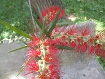 Herrliche rote Bottlebrushblume von Callistemon-Anlage im Garten stockbilder