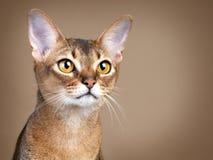 Herrliche weibliche Abysssinian Katze Lizenzfreie Stockbilder