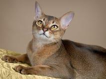 Herrliche weibliche Abysssinian Katze Lizenzfreie Stockfotografie