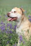 Herrlicher Amerikaner Pit Bull Terrier in den Blumen Lizenzfreie Stockfotografie