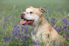 Herrlicher Amerikaner Pit Bull Terrier in den Blumen Lizenzfreies Stockbild