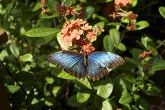 Herrlicher blauer Schmetterling auf rosa Blumen Stockfoto