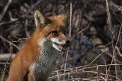 Herrlicher Fuchs, der im Wald sitzt stockbilder