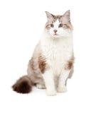 Herrlicher Ragdoll Cat Sitting Lizenzfreies Stockfoto