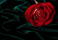 Herrlicher Rosebud auf dem dunkelgrünen velor Lizenzfreie Stockfotos