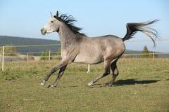 Herrliches arabisches Pferd, das auf Herbstweide läuft Lizenzfreies Stockfoto