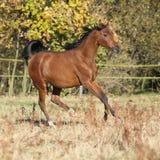 Herrliches arabisches Pferd, das auf Herbstweide läuft Stockbilder