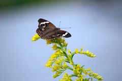 Herrliches beschmutztes Owl Butterfly auf gelben Blumen stockfotografie