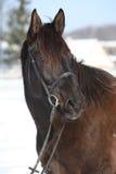 Herrliches braunes Pferd mit schwarzem Zaum im Winter Stockbild
