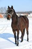 Herrliches braunes Pferd mit weißem Zaum im Winter Stockfotografie