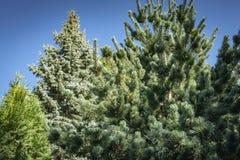 Herrliches japanisches Kiefer Pinus parviflora Glauca auf dem Recht Blautanne Picea pungens im Hintergrund stockbilder