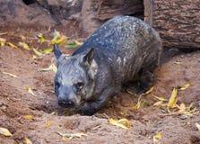 Herrliches kräftiges südliches Haarig-gerochenes Wombat gräbt den Sand, in umgeben von den gelben Blättern lizenzfreie stockfotos