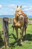 Herrliches Palomino-Pferdewartecowboy zum zurückzugehen lizenzfreies stockfoto