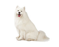 Herrliches Samoyed-Hundesitzen Stockbilder