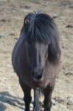 Herrliches schwarzes isländisches Pferd stockbild