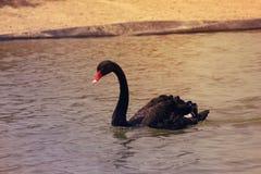 Herrliches Schwimmen des schwarzen Schwans über Al-Kudra See Stockfotos